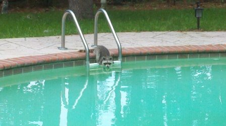 Raccoon Pool Party